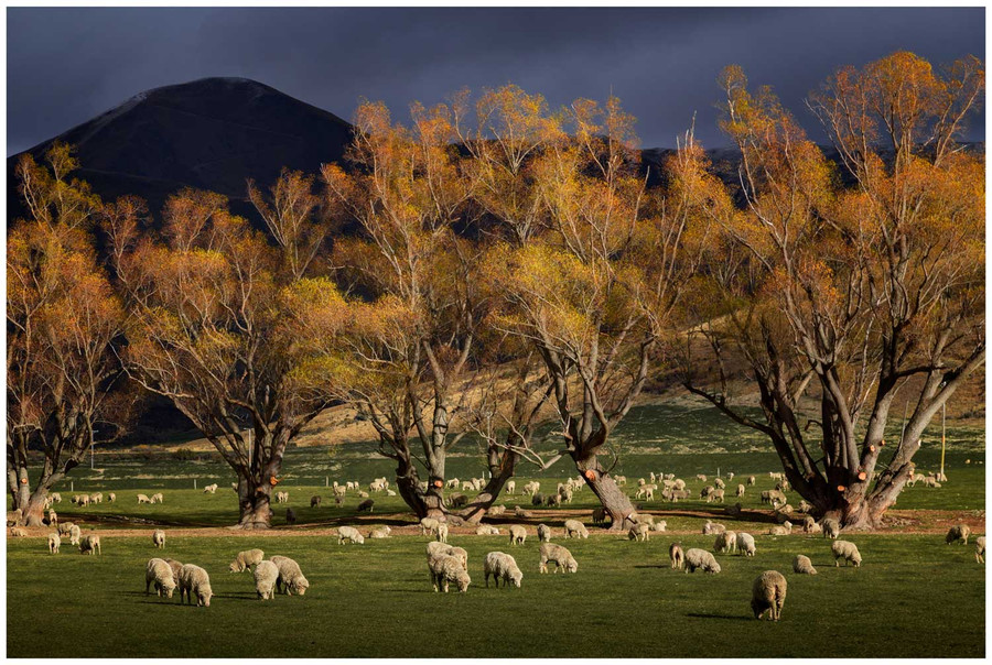 """""""Lindis Pass Autumn Colours """" - fine art photo print of sheep under a hill in New Zealand by Swapnil Nevgi"""