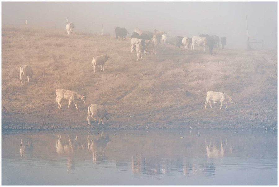 """""""Village of Cows"""" -  fine art photo print of cows in on a farm drinking water by Swapnil Nevgi"""