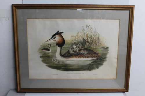 "Picture Frame River Bird & Chicks Podiceps Cristatus Hanging Art Photo 61x75"""