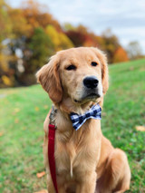 Breed Spotlight: Golden Retriever