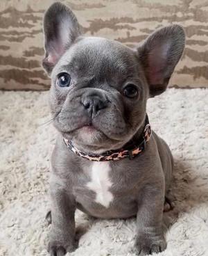 Breed Spotlight: The French Bulldog