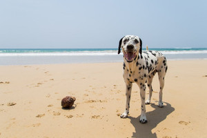 Breed Spotlight: Dalmatian