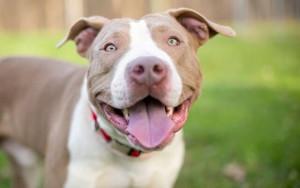 Breed Spotlight: American Staffordshire Terrier