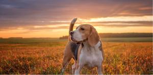 Breed Spotlight: Beagle