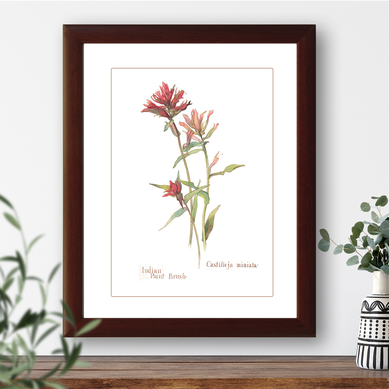 "Vintage botanical illustration ""Indian Paint Brush"""