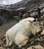 Successful mountain goat hunt.