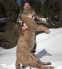 Cougar hunt in Utah