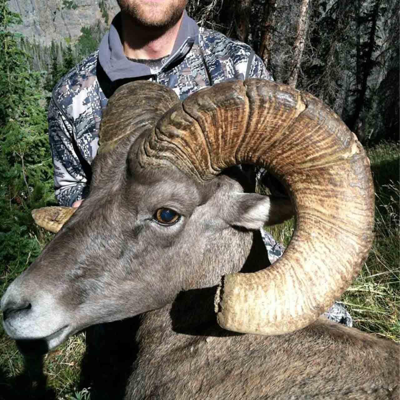 Rocky Mountain Bighorn Sheep Hunt In Wyoming