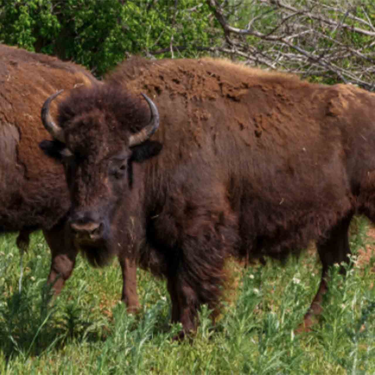 Bison management hunt in Saskatchewan.  Fill your freezer this fall with organic bison meet.