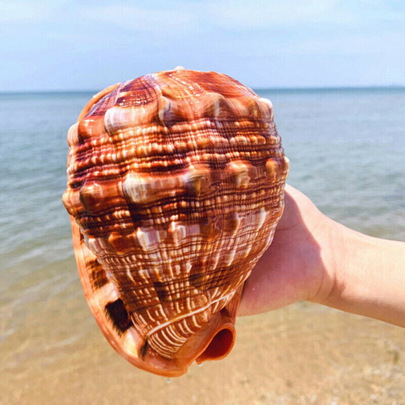 Natural Bull's Mouth Conch Shell Coral Sea Snail Fish Tank Adorn Home Orname_