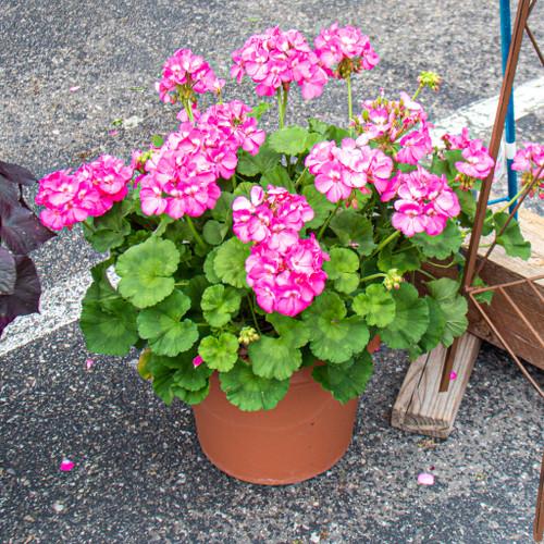 Dreamy Geraniums Planter