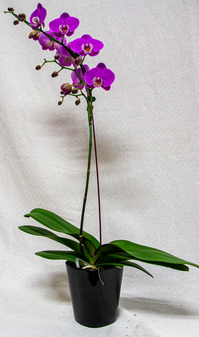 Care:  Med to bright light. Between watering make sure the orchids get very dry. We suggest soaking your orchid every 2-3 weeks for 20 min, spray leaves and stems. Drain the orchid well and leave to dry before returning to pots. They thrive on being neglected. As blossoms fade, remove to encourage new growth.