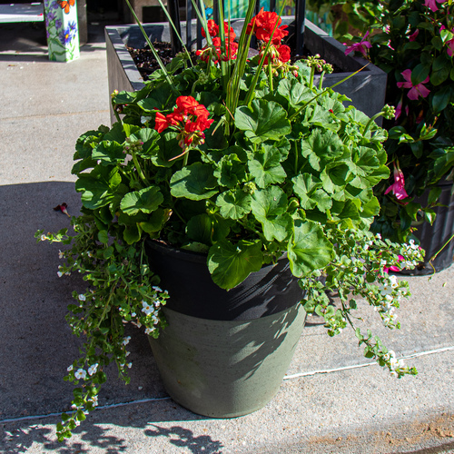 Mixed Geranium Planter