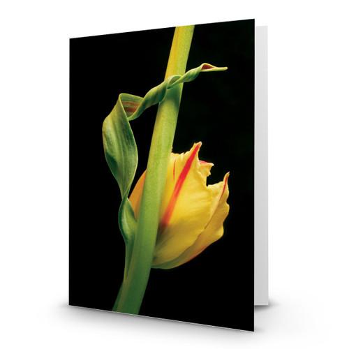 Tulip 01 - MT100