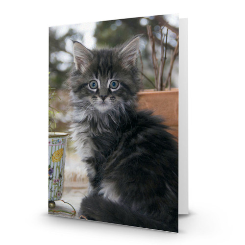 Maine Coon Kitten - CC100