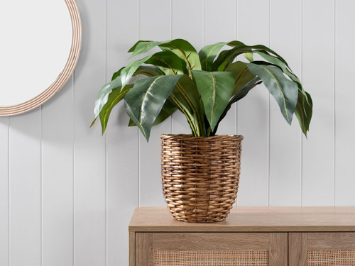 Rohdea Plant in Woven Basket