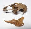 LMX010 - ULTRA RARE PLEISTOCENE FOSSIL COTTONTAIL RABBIT PARTIAL SKULL WITH HALF OF MANDIBLE