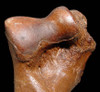 LM12-018 - ULTRA RARE INTACT HUMERUS BONE FROM DICERORHINUS AN EXTINCT EUROPEAN RHINOCEROS