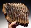 MRX001 - EXTREMELY RARE PALAEOLOXODON ANTIQUUS FOSSIL ELEPHANT TOOTH FROM GERMANY
