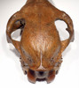 H024 - EXTREMELY RARE EUROPEAN FOSSIL ICE AGE HORSE SKULL