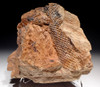 PL099 - MUSEUM CLASS LARGE LEPIDOPHLOIOS AND LEPIDODENDRON CARBONIFEROUS PLANT FOSSIL