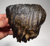 LMX126 - SUPREME GRADE WOOLLY MAMMOTH UPPER TOOTH FROM EUROPE