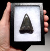 SHX048  - INVESTMENT GRADE 2.2 INCH FOSSIL GREAT WHITE SHARK TOOTH FROM SOUTH CAROLINA