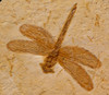 BU019XX - SUPERB CRETACEOUS DRAGONFLY FOSSIL OF EXCEPTIONAL COLOR AND DETAIL