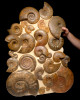 "AMX331 - MASSIVE 36"" AMMONITE WALL FILLED WITH 28 RARE JURASSIC OCEAN LIFE FOSSILS OF SUPERB PRESERVATION"