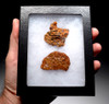 """FOSSIL DROMAEOSAUR """"RAPTOR"""" COPROLITES WITH DIGESTED FISH SCALES AND BONES *DT6-292"""