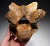 WOOLLY RHINOCEROS RHINO FOSSIL CERVICAL NECK VERTEBRAE *LMX211