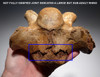 LARGE SUPERB WOOLLY RHINOCEROS FOSSIL RHINO CERVICAL NECK VERTEBRAE *LMX205