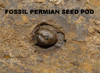 PERMIAN PARAMBLYPTERUS FISH FOSSIL WITH SEED POD FROM BEFORE THE DINOSAURS *F166
