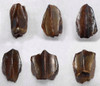 "TOP QUALITY HADROSAUR ""DUCK-BILLED"" DINOSAUR TOOTH *DT70"