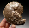 RARE SPECIES COILOPOCERAS AMMONITE PRESERVED IN SOLID CALCITE *AMX700