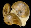 IMPRESSIVE AMMONITE SEA LIFE FOSSIL OF DIFFERENT SPECIES *AMX071
