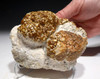 OLIGOCENE FOSSIL STROMATOLITE CYANOBACTERIA BALL COLONIES FROM AN ANCIENT LAKE  *ST027