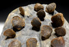 ATRYPA DEVONIAN BRACHIOPOD COLONY FROM SITE OF OLDEST TETRAPOD FOSSILS  *BR036