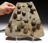 LARGE DEVONIAN BRACHIOPOD COLONY FOSSIL FROM SITE OF THE OLDEST TETRAPOD FOOTPRINTS  *BR025