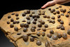 OUR LARGEST ATRYPA DEVONIAN BRACHIOPOD COLONY FROM OLDEST TETRAPOD FOOTPRINTS SITE  *BRX02