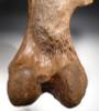 RARE COMPLETE FOSSIL WOOLLY RHINOCEROS RHINO FEMUR BONE WITH CHOICE PRESERVATION  *LMX137