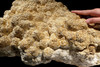 LARGEST MUSEUM CLASS NATURAL STROMATOLITE FOSSIL CYANOBACTERIA COLONY FROM A PREHISTORIC LAKE  *STX990