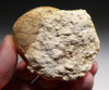 ANCIENT SEA SNAIL FOSSIL FROM FRANCE  *GA060