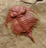 TRX121 - ULTRA RARE NEW UNDESCRIBED LICHID ORDOVICIAN TRILOBITE WITH PERFECT COMPLETE PRESERVATION FROM FEZOUATA