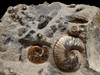 RARE COLORFUL IRIDESCENT AMMONITES SCAPHITES AND DISCOSCAPHITES FOSSILS WITH GEM COLORS FROM FOX HILLS    *AMX401