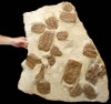 MUSEUM GRADE NATURAL CONCENTRATION OF 18 SELENOPELTIS TRILOBITES ON VERY LARGE ORIGINAL SEDIMENTARY ROCK LAYER *TRX025