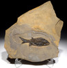 FINEST ANCIENT PARAMBLYPTERUS FISH FOSSIL FROM THE PERMIAN BEFORE THE DINOSAURS  *F81X