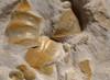 IMPRESSIVE LARGE MASS EXTINCTION JURASSIC SEA LIFE FOSSIL WITH AMMONITES, OYSTERS AND BELEMNITES FROM GERMANY  *AMX374