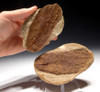 PL090 - RARE SIZE LARGE FOSSIL WOOD IN CONCRETION FROM THE OLIGOCENE OF BAD KREUZNACH GERMANY
