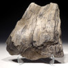 PETRIFIED LOG WITH AMAZING FOSSILIZED WOOD GRAIN AND PERMINERALIZED DETAIL FROM EUROPE  *PL152